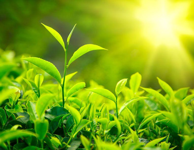 Цейлонский чай – история и современность